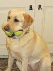 Dog with tennis balls in mouth.